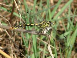 Onychogomphus forcipatus unguiculatus (Roberto Fabbri)